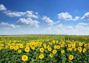 depositphotos_6040783-stock-photo-sunflower-field